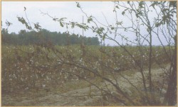 Cotton Field in the Bootheel